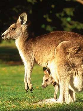 Les animaux de l'Australie